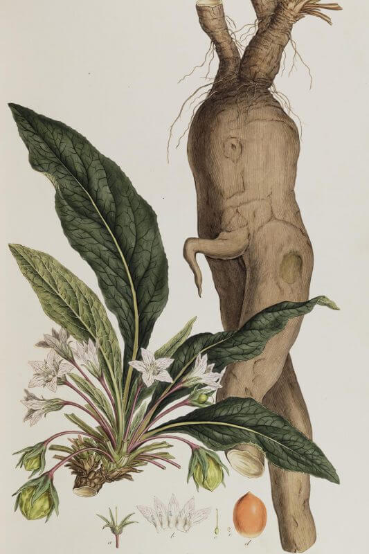 Mandrake Or Mystical Mandragora In Folklore And Magic